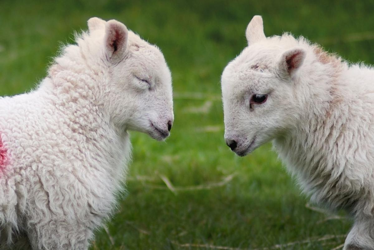 Cwmystwyth-lambs