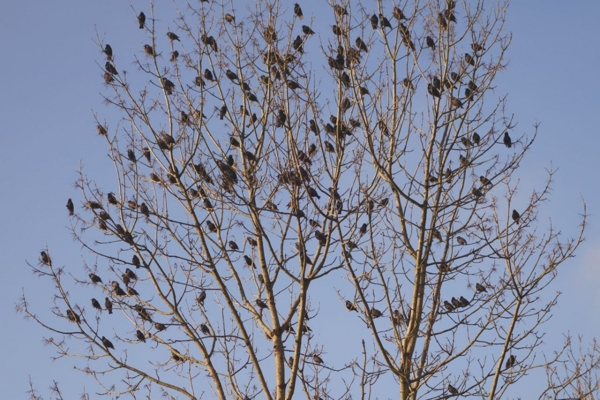 Morning chorus from starlings outside Ty Mari
