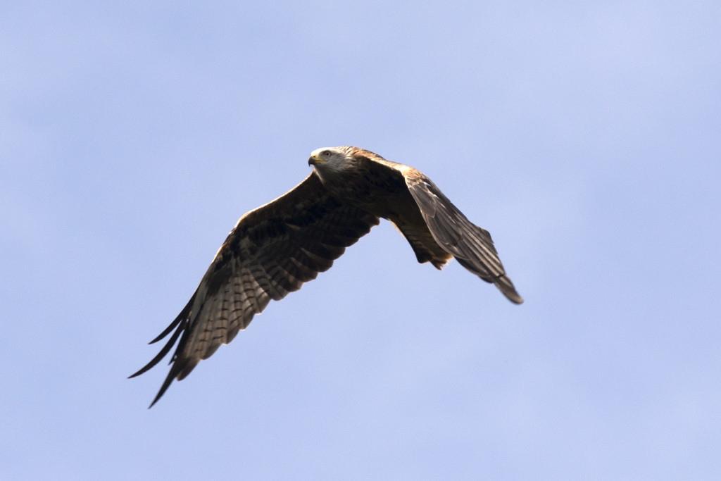 Red-Kites-abound-in-Cwmystwyth