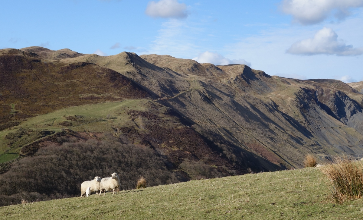 Sheep and mining Ystwyth valley