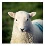 April-lamb-Cwmystwyth