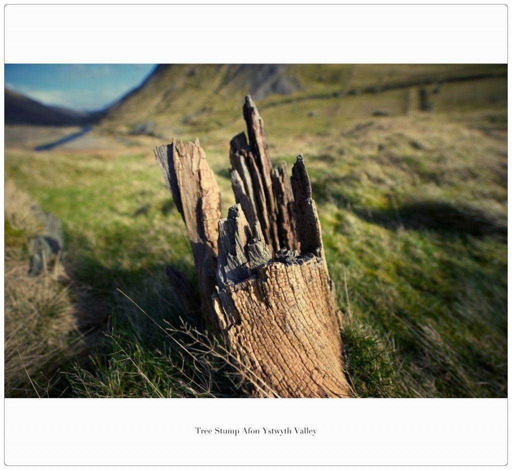 Tree stump Afon Ystwyth Valley