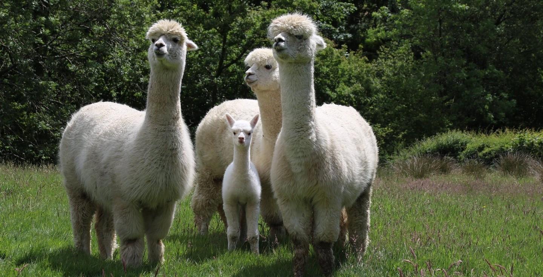 Alpacas born near Welsh Hideaways!